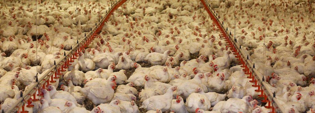 """fotografía de una granja industrial de pollos """"sin jaula"""""""